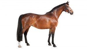 G3WP8N a brown horse in studio against a white background, isolated