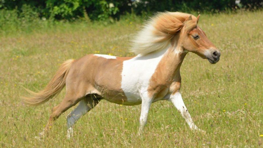 Shetland pony The Horse Trust