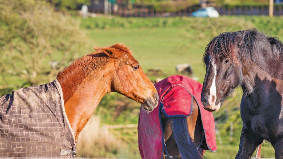 Kfield EDHF1 horses in rugs fighting