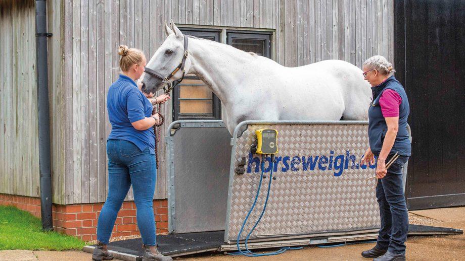 Weighing a horse on a weighbridge