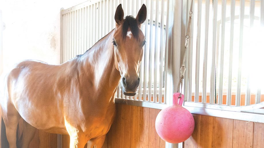 KAFWX1 Bavarian Warmblood. Bay adult standing in a box with window. Germany