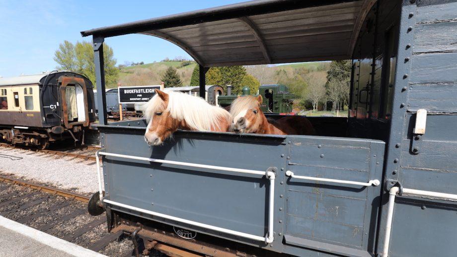 Viral video Shetland ponies