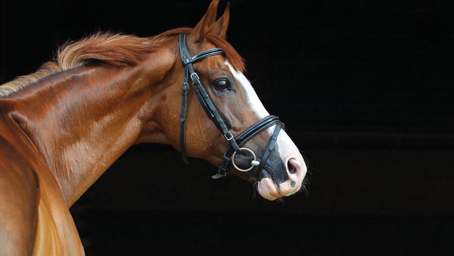 2A1ME0N Dressage race horse portrait indoor stable