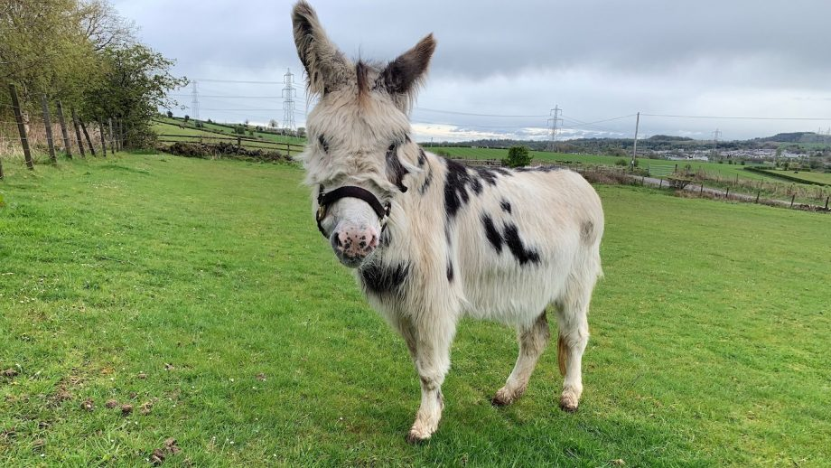 Skye the donkey is recovering after sarcoid surgery