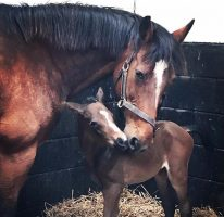 Paulank Brockagh and her filly foal.