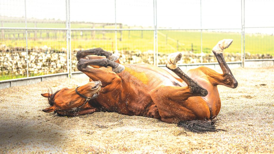 PR772D Camptown, Jedburgh, Scottish Borders, UK. 21st September 2018. A young racehorse relaxes in a sand pit after a home workout.