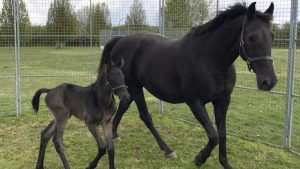 My Royal Touch and her foal.