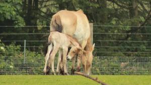 przewalski's horse Marwell Zoo