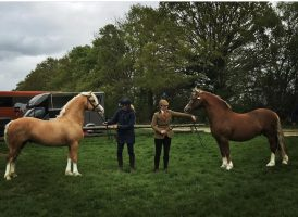 Palomino stallion Thistledown Rockin Robin gives Chloe Chubb her first Royal International M&M title ten years after she competed his sire Popsters Loaded Weapon there
