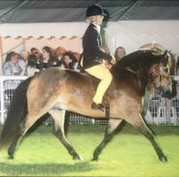 15-year-old Exmoor Earl Harold makes his first ever trip to the Royal International Horse Show under Jessica Rayner