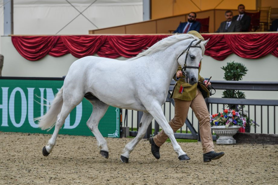 Vanessa Clark's nine-year-old Skargaardens Delicious Love scoops the M&M in-hand accolade at the 2021 Royal Windsor Horse Show