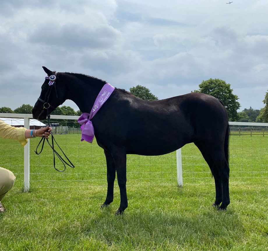 Mountain Gale owned and handled by Lucinda Speak is senior in-hand champion at the 2021 Royal Windsor Horse Show