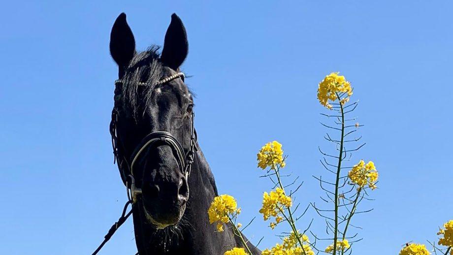 The popular stallion Sandro Hit has died