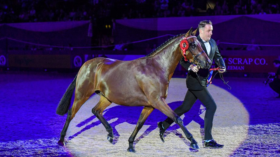 Heronsmill Tiger Lily, winner of the Cuddy in-hand championship at HOYS