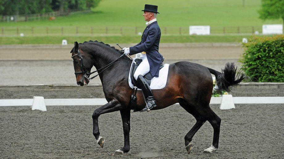 dressage stallion