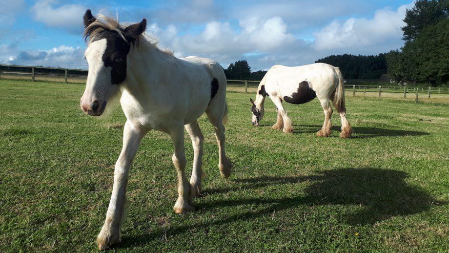 pregnant mare