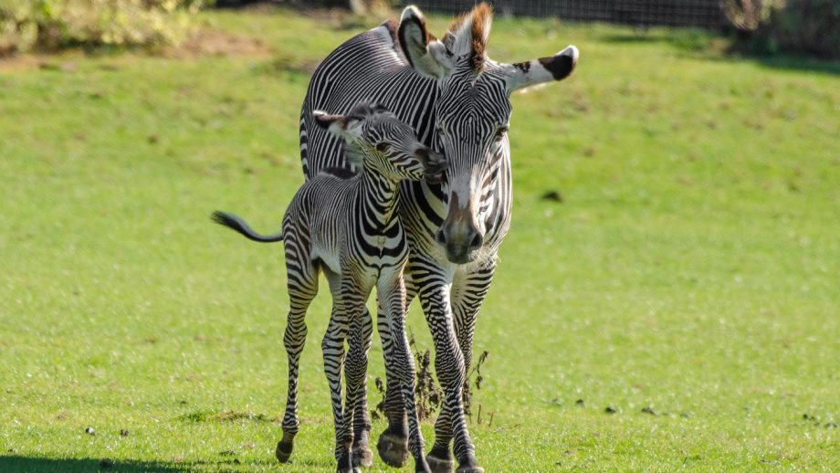 Zebra foal: Marwell Zoo has welcomed the birth of a rare breed Grevy's zebra