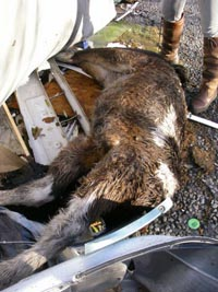 Appeal After Dead Foal Found Dumped In Rubbish Horse Amp Hound