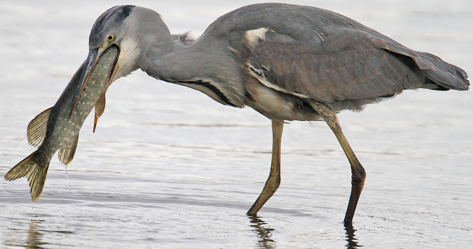 Image result for a heron eating a fish
