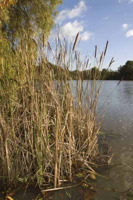 Autumn reeds - they might be going brown but don't you be green.... fish are still likely to be mooching round them!