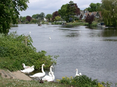 Nice weather for ducks, and swans. These Thames residents, at Staines, don't have the same decisions as us anglers, eh?