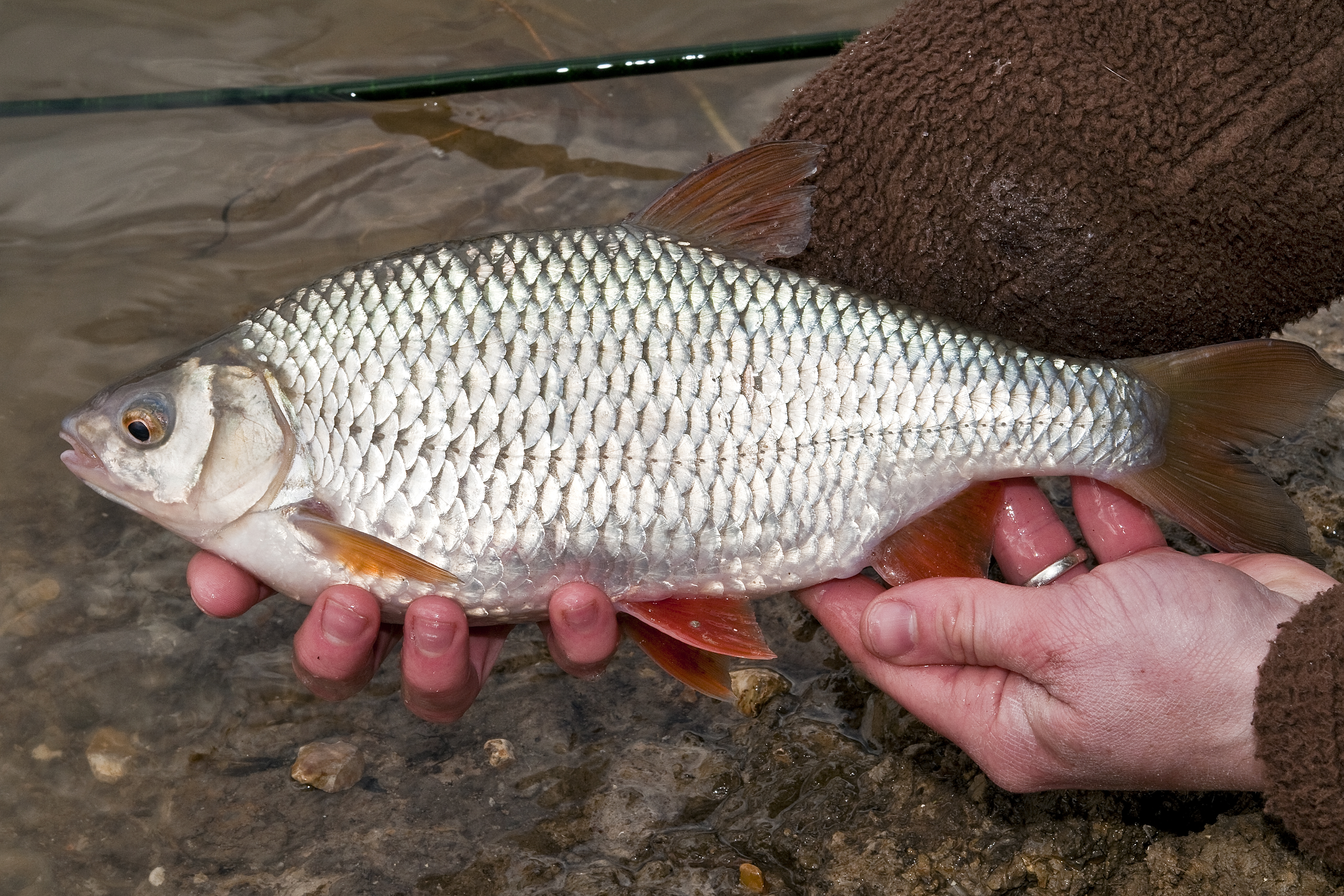Roach fish images galleries with a bite for River fishing tips