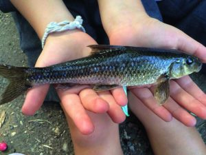 record-gudgeon