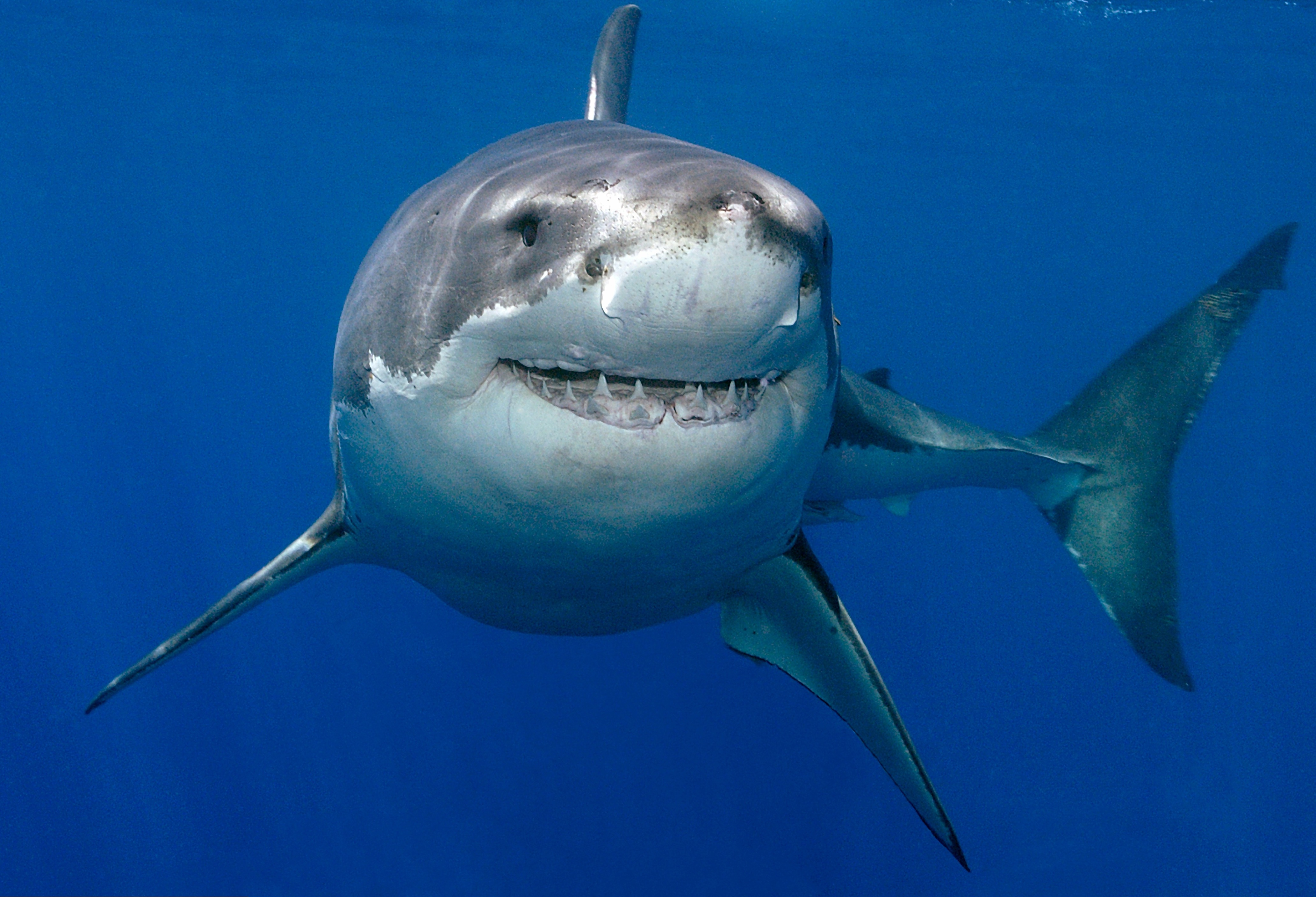 Great white shark lurking metres off English south coast!