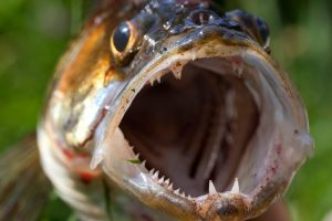 Zander are still being removed from canals and left to die.