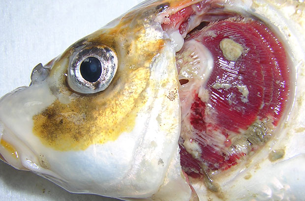 Carp diseases alarm includes warnings to look out for KHV. This carp is suffering from gill necrosis.