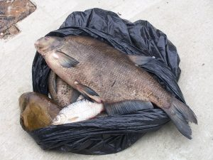 Dead fish - just one sign of poor water quality, and another pollution.