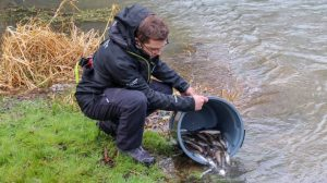 Chub get released into the record barbel river - but it's the new barbel which could be the seeds to restoring the venue back to what it was famed for.