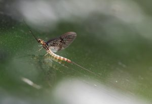 One of the most iconic UK inset species devoured by fish - the mayfly, seen here on the River Test.
