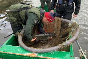 The Essex wels catfish gets captured and re-homed to an angling venue. The practice is more common than you might think.