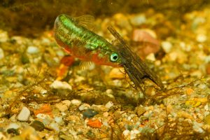 What is this three-spined stickleback really eating? Microplastics were found in all the three species of mayfly and caddis fly larvae studied.