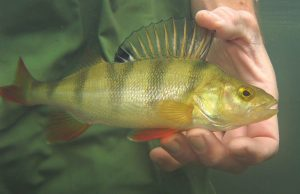 Perch were amongst the fish studied for the review that anti angling groups pounced upon. Its claims have been countered by the Angling Trust..