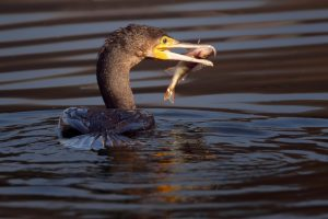 The battle to curb the UK cormorant impact upon inland fish stocks hinges upon an online survey.