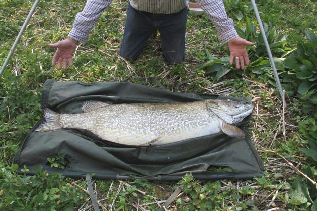 Another view of the massive pike, as seen on the extra large weigh sling.