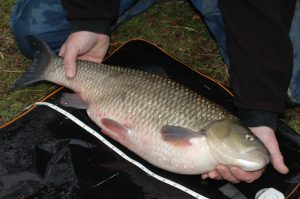 Measuring fish, like this chub, is becoming more popular in the UK - but it's huge across Europe.