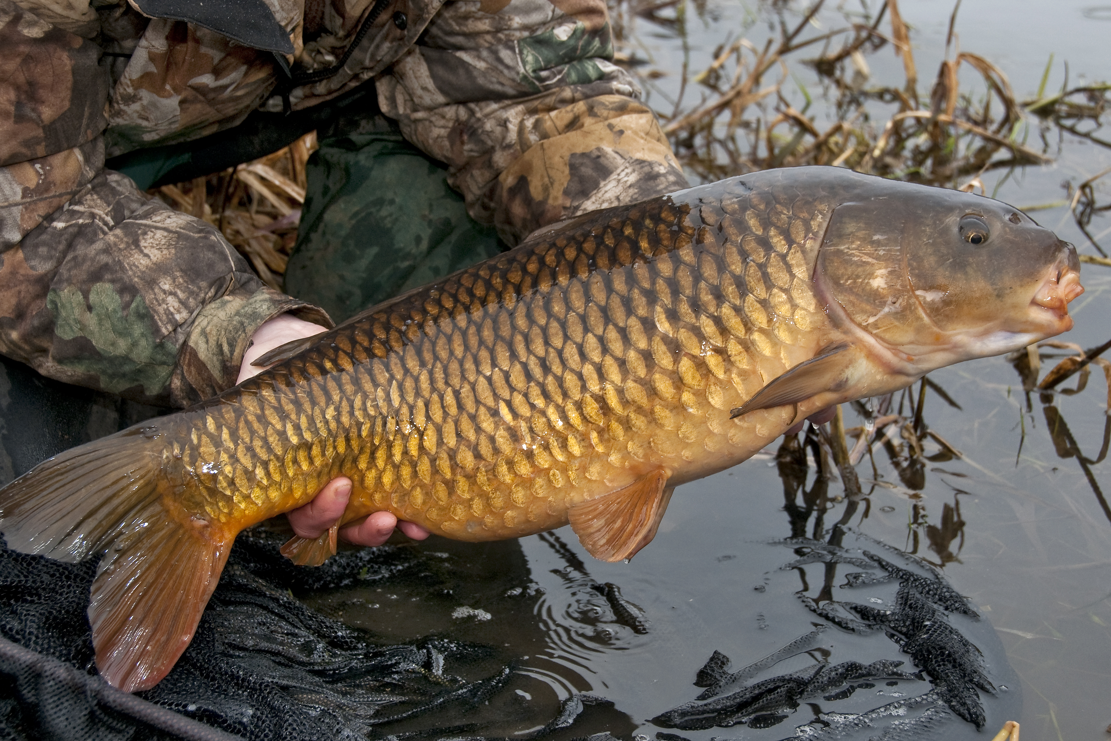 Carp - scientific guide to the popular species for anglers
