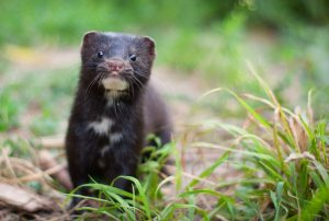 As if the threat from other means isn't enough, mink have been linked to Covid-19.