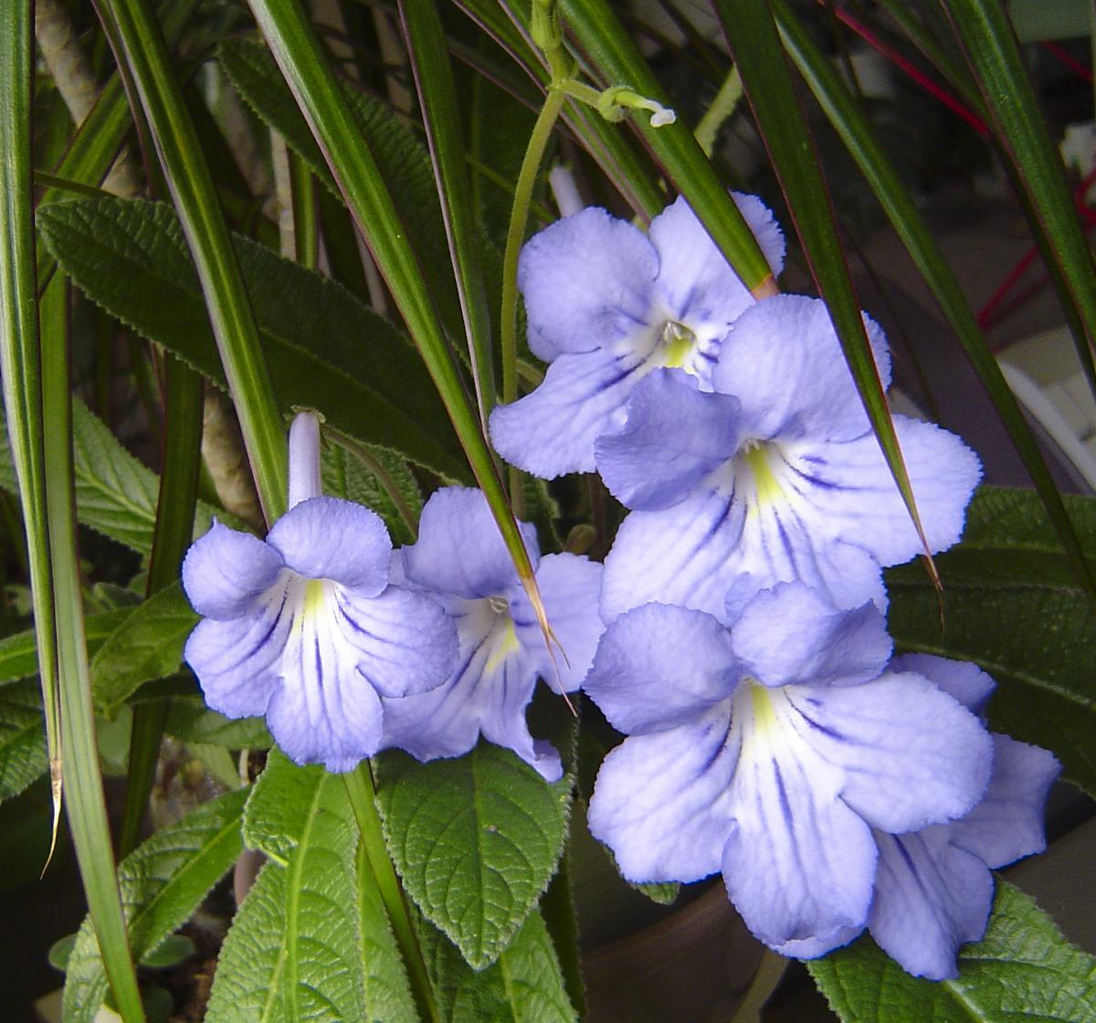 Alcasar Streptocarpus 1