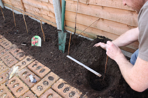 How To Plant Raspberry Canes Amateur Gardening