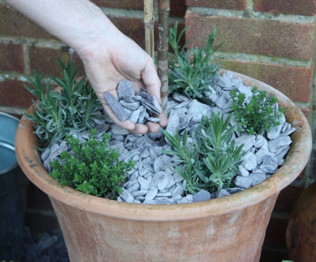Insect repellent patio planter reader offer amateur gardening - Growing lavender pot ...