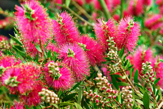 How To Grow Callistemon Bottlebrush Amateur Gardening