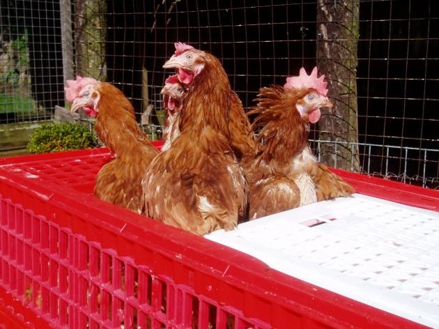 Former battery hens are enjoying freedom in gardens