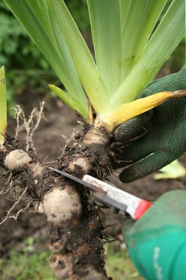 Divide Iris Plants Now Amateur Gardening