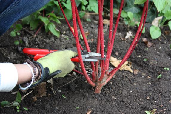 How To Take Hardwood Cuttings Amateur Gardening