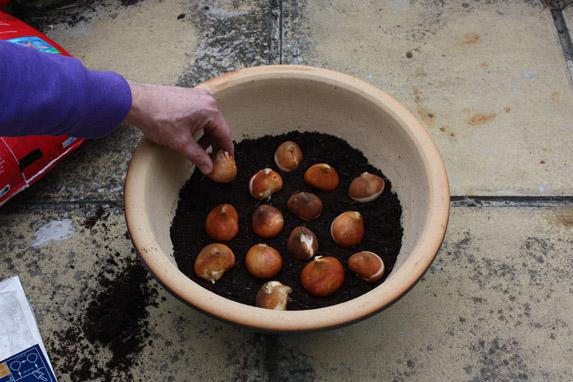 Можно ли сажать тюльпаны осенью в горшки 59