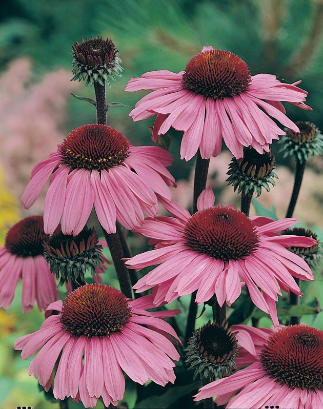 Echinacea was a runner-up